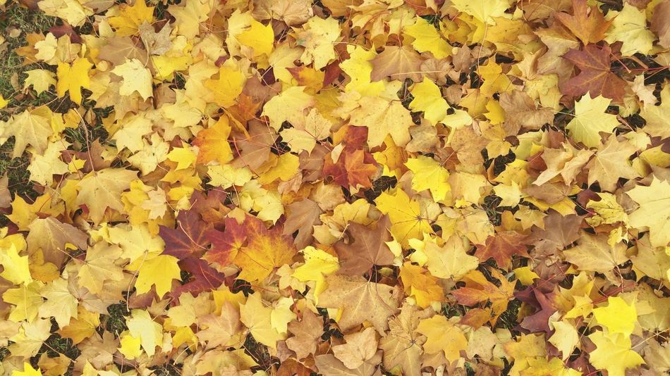 ... Maple Leaves ... Yellow Full Frame Backgrounds Close-up Yellow Color Beauty In Nature Nature Outdoors Day No People Fragility Autumn Fall Ground Fallen Leaves Red Seasons Change Looking Down Otoño осень листья листья желтые