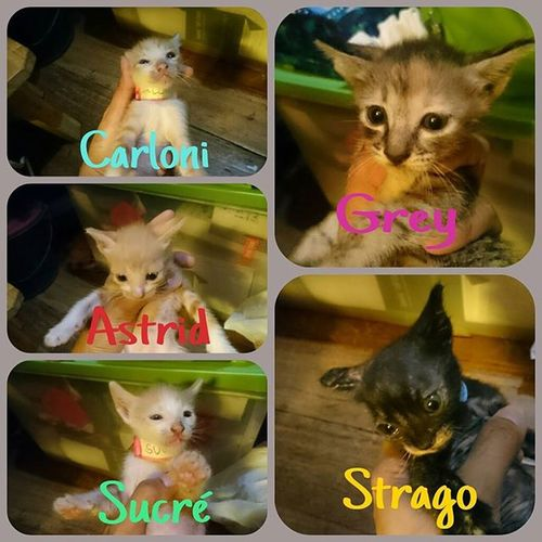HAPPY ONE MONTH KITTIES. 👍👌😸😻 Perrys4thset Grey Astrid Lokis1stset Strago Carloni Sucre FelineDomesticus AmericanBobtailCrossBreed Calico November282015