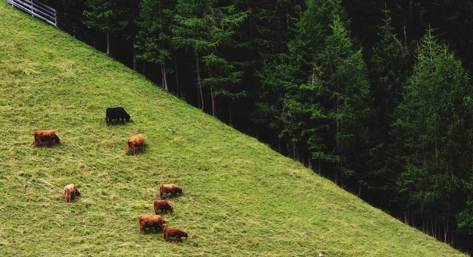 Pasture Wood Animals Cows Tranquility Mountain Mountain Life Pinetrees Diagonal Halfandhalf Color Palette Green