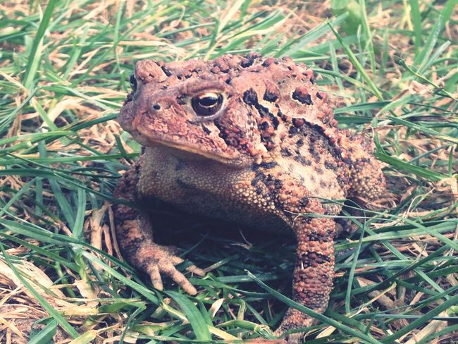 Toad Nature Nature_collection EyeEm Nature Lover Eyem Best Shots EyeEm large toad I love this photo because I felt I like a good photographer able to get a close up of this toad and I think it's beautiful. My Favorite Photo