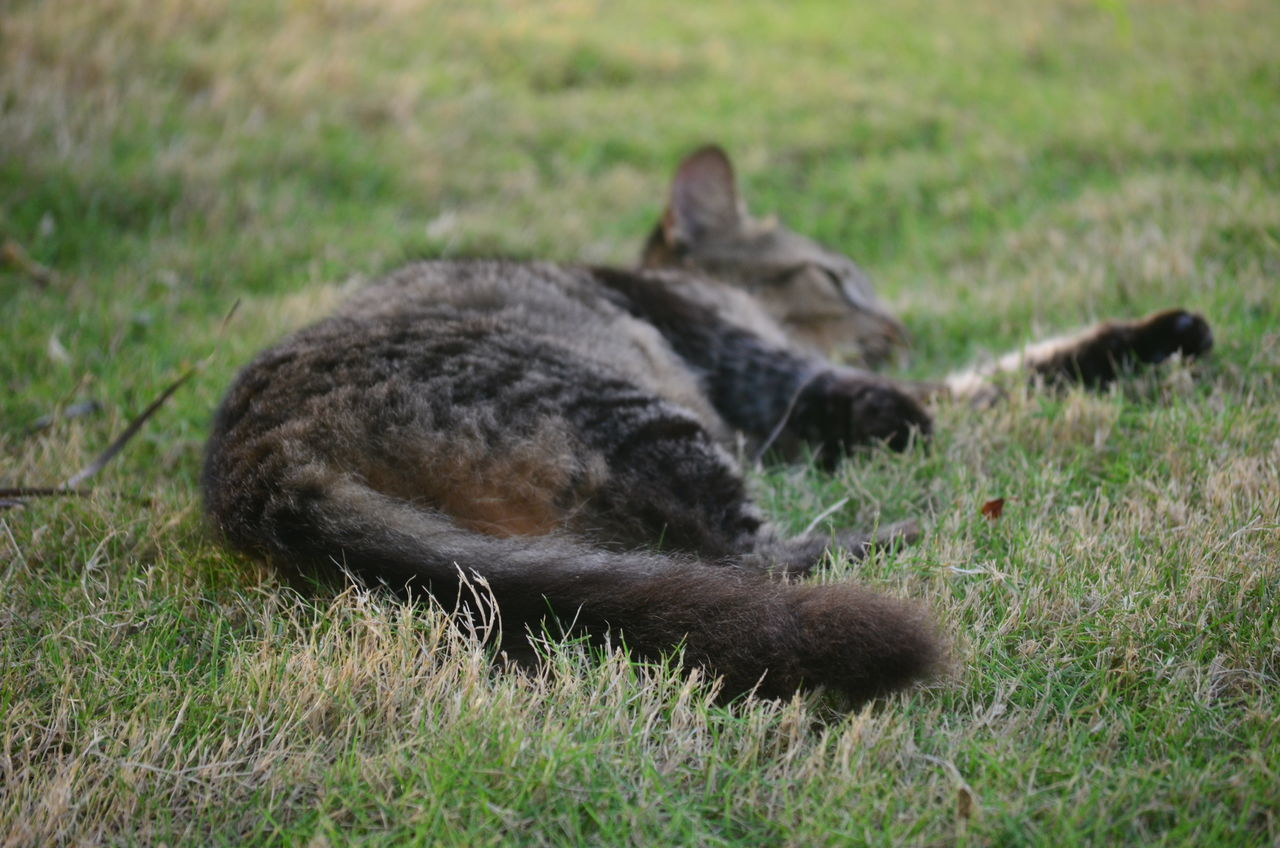 CLOSE-UP OF CAT LYING ON GRASS
