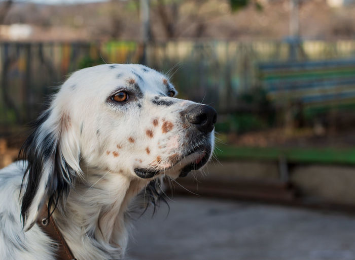 English Setter One Animal Animal Themes Dog Animal Canine Mammal Domestic Domestic Animals Pets Focus On Foreground Looking Looking Away Vertebrate Close-up Animal Body Part Day No People Animal Head  Outdoors Park Profile View Mouth Open