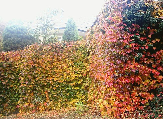 Leaves Autumn Colors Colorful Red Green Yellow Wall Poison Prison