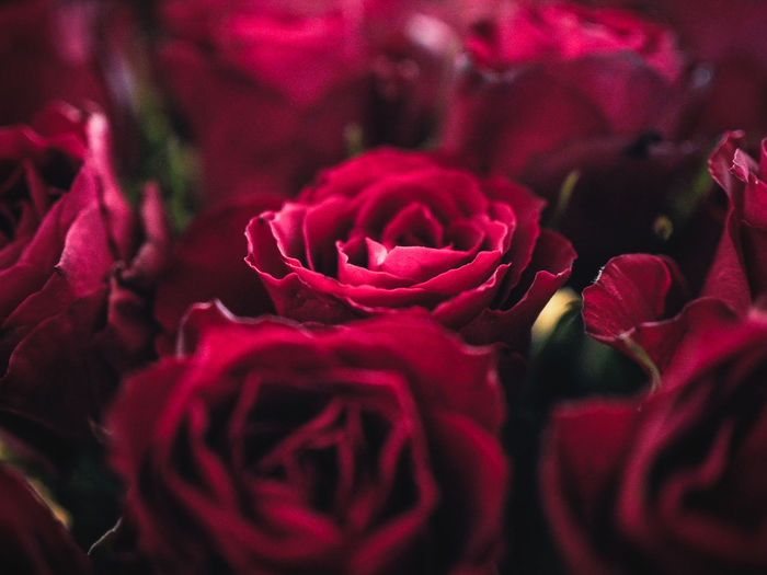 roses are red Red Rose Flower Head Flower Red Rose - Flower Beauty Close-up Plant Blossom In Bloom Focus EyeEmNewHere