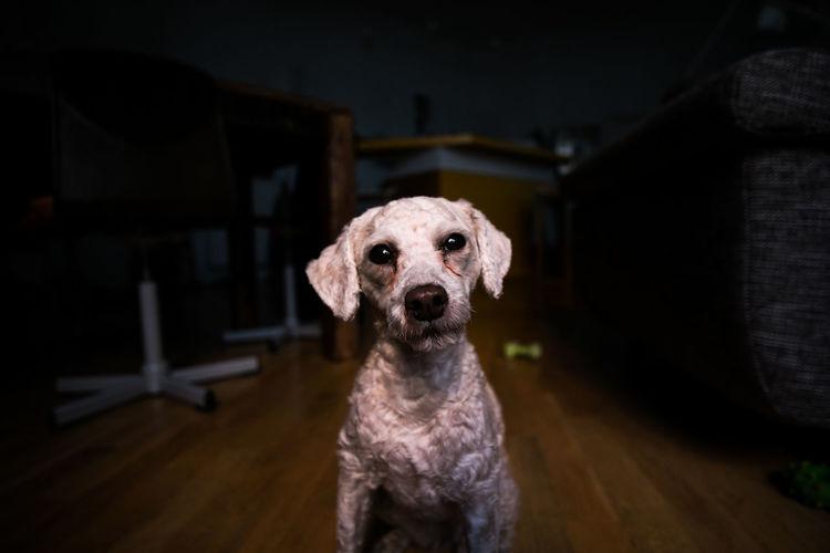 Portrait Of Dog Sitting On Hardwood Floor