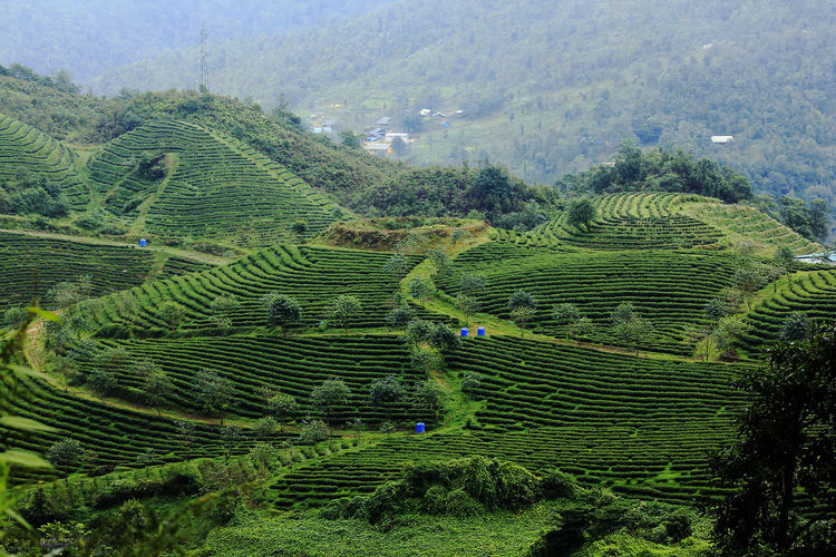Tea plantations in Sapa, Vietnam Agriculture Beauty In Nature Crop  Day Environment Farm Field Green Color Growth Land Landscape Nature No People Outdoors Plant Plantation Rural Scene Scenics - Nature Tea Crop Terrace Terraced Field Tranquil Scene Tranquility