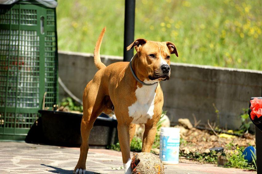 Friend Dog Pittbull Pittbull Love Pittbulllife Love ♥ Amazing Looking At Camera Domestic Animals Outdoors Day Sunlight Animal Pet Portraits