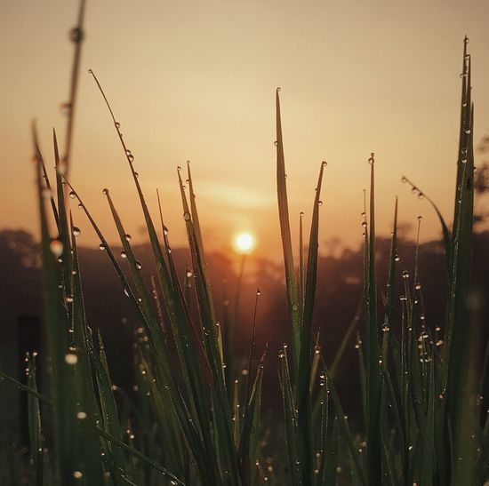 Close-up of wet grass on field against sky during sunset