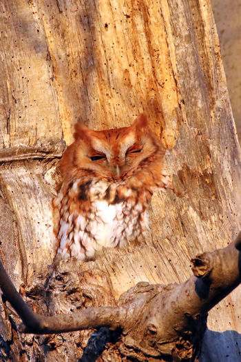 Screech Owl Animal Themes Animals In The Wild Bird Carnivora Close-up Day Ears EyeEm Nature Lover Nature No People One Animal Outdoors Red Morph Screech Owl