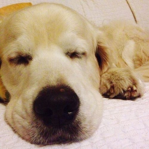 Dogs Dog❤ EyeEm Animal Lover Eyeem Best Shots - Animals Dogs Of EyeEm Cute Pets Dog Love Our Best Pics Beautiful Animals  Dog EyeEm Best Shots Dogslife IPhoneography Goldenretriever