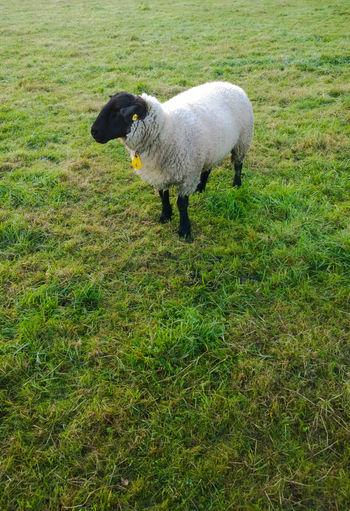 Sheep Animals Cute Day Field Grass Grass Green Green Mist Nature Nature No People Outdoors Sachsenhagen Schaumburg Sheep