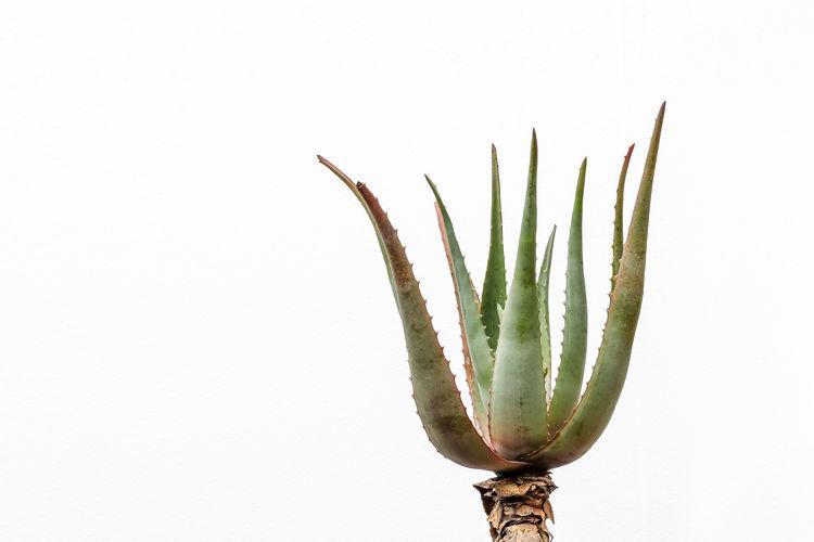 Aloe Aloe Succulent Plant Succulent Plant White Background No People Studio Shot Growth Copy Space Cactus Single Object Beauty In Nature