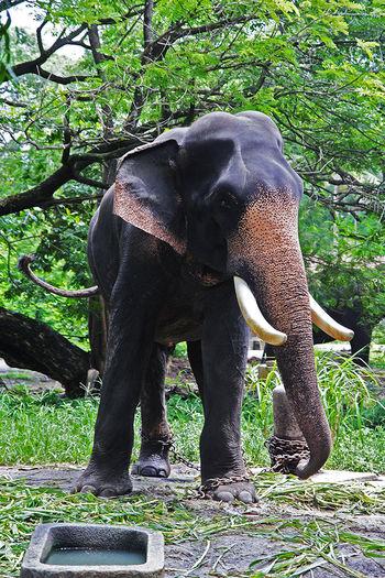 Guruvayoor Valiya Kesavan, The famous Asian Elephant Animal Animal Themes Asian Elephant Composition Day Elephant Front View Full Length India Kerala One Animal Relaxing Standing Wildlife Zoology