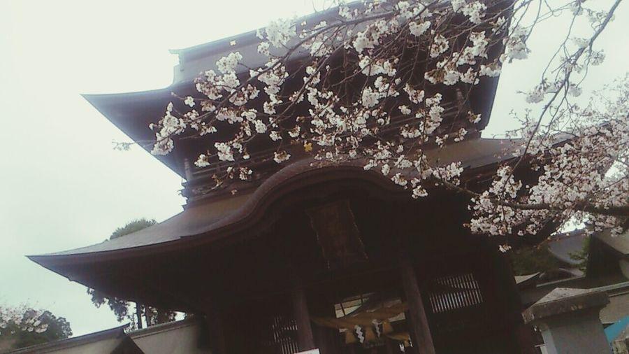 Aso Kumamoto  Sakura Cherry Blossoms Sakura