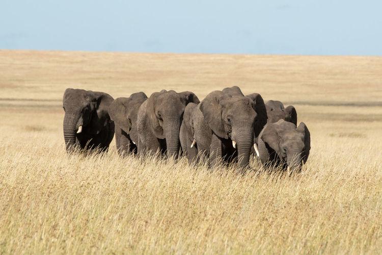Elephants amidst grass on field