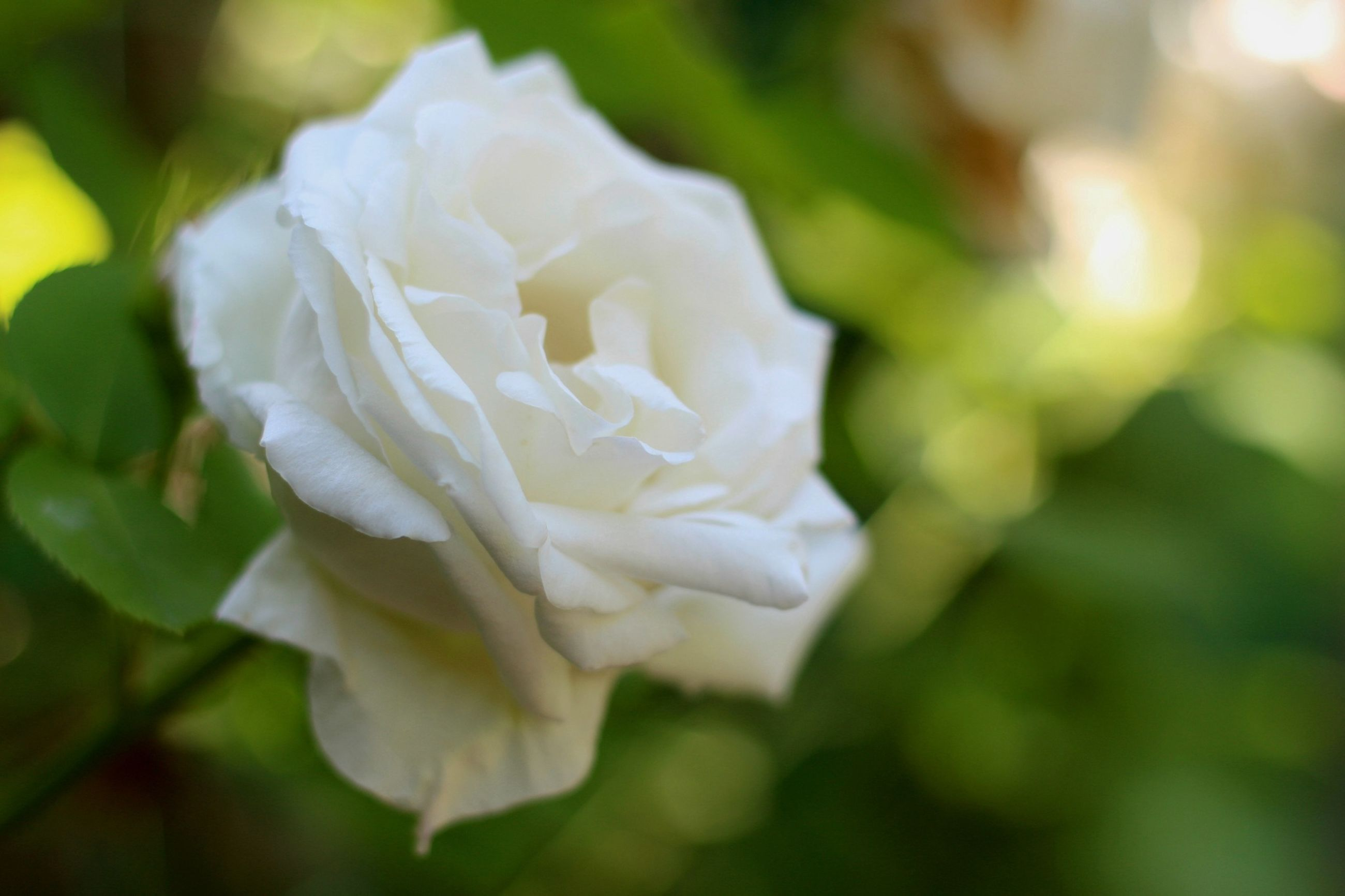 flower, petal, fragility, freshness, flower head, growth, close-up, beauty in nature, focus on foreground, white color, single flower, blooming, nature, rose - flower, in bloom, plant, selective focus, blossom, park - man made space, outdoors