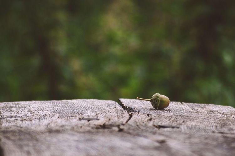 Acorn Nut On Wooden Bench