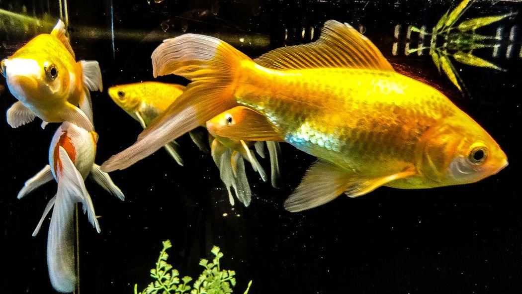 GoldFish! Goldfish Aquariumfish Aquarium Fish