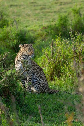Portrait of leopard among green bushes in the masai mar in kenya