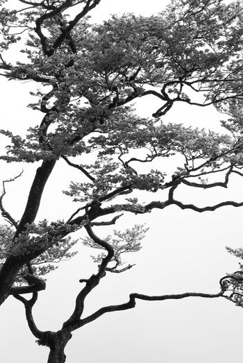 Black veins Trees Bare Tree Beauty In Nature Black And White Blackandwhite Bnw Bnw_collection Bonsai Bonsai Tree Branch Day Growth Low Angle View Nature No People Outdoors Plant Silhouette Tattoo Tranquil Scene Tranquility Tree Tree Trunk Trunk Veins
