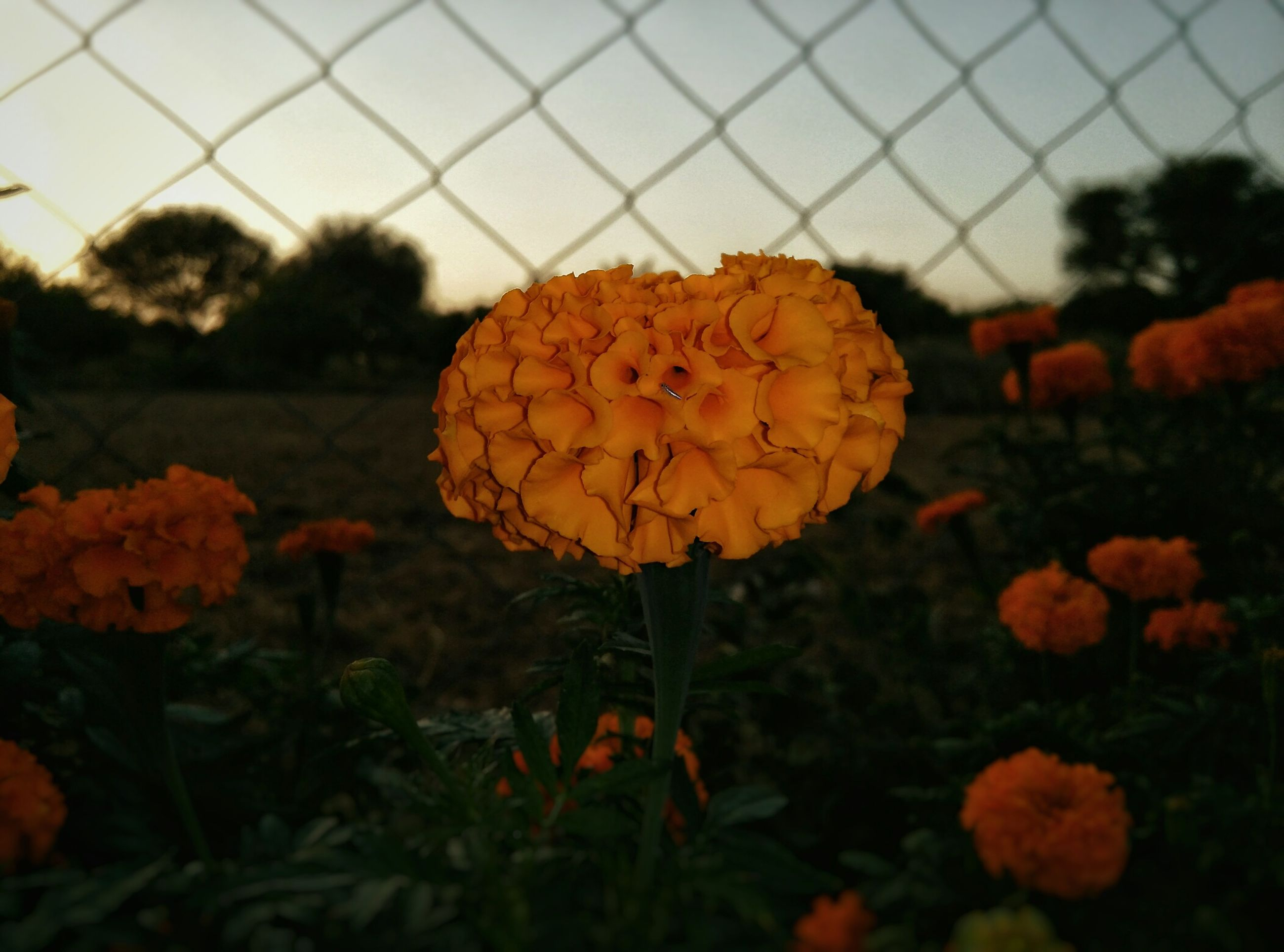 orange color, growth, fragility, flower, focus on foreground, beauty in nature, plant, nature, close-up, field, freshness, leaf, sunset, petal, season, red, fence, autumn, flower head, blooming