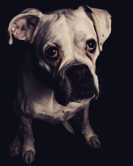 """Pina"" Instaphoto Photowall Instagram Photooftheday Snapso Dog Pet Portrait Instafollow Dark Bestoftheday Bestpic Sonyalpha IGDaily Igdogs Igdog Boxer Instadaily Instacool All_shots Instamood Animal Animals Iganimals"