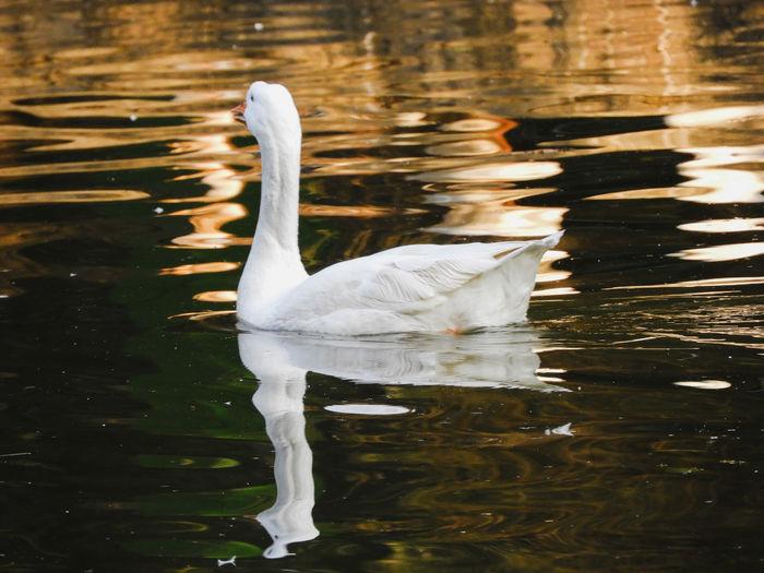 Goose Gosling White Goose Bird Water Swimming Full Length Lake Reflection Beak Water Bird Swimming Animal Freshwater Bird Avian Adult Animal