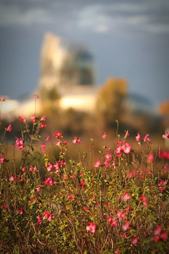 Flower Nature No People Focus On Foreground Beauty In Nature Red Field Outdoors Growth Pink Color Plant Freshness Grass Fragility Sky Close-up Day Flower Head