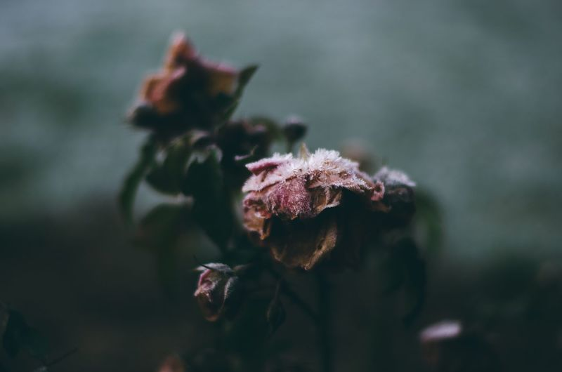 The end Pink Flower Pink Color Roses Snow Frost Winter EyeEm Selects Plant Close-up Flower Growth Focus On Foreground Flowering Plant Beauty In Nature Vulnerability  Fragility No People Nature Selective Focus Outdoors Flower Head Dry