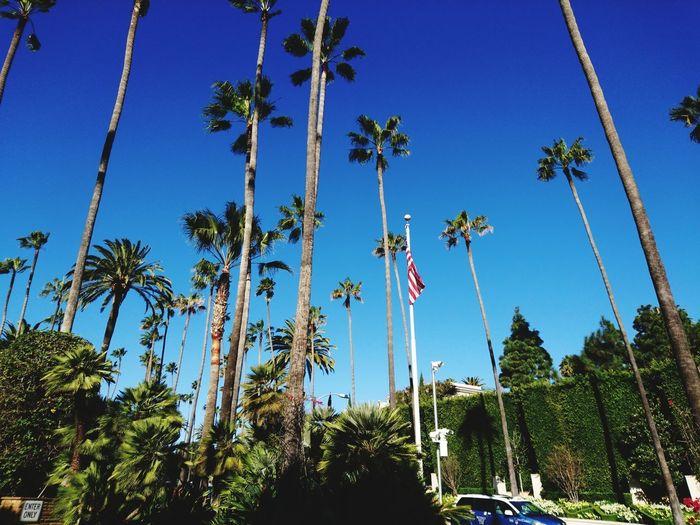Palmtree Beveryhills Losangeles Tree Clear Sky Blue Sky Palm Tree