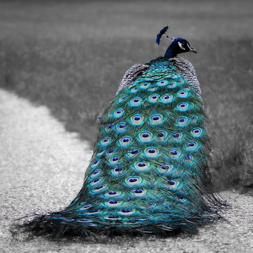 Haute Couture 👗 Beautiful Feathers Nature Naturepics Animal Animal Themes Animal Wildlife Animalphoto Animalphotography Animals In The Wild Beautifulbird Beautifulfeathers Beauty Beauty In Nature Bird Bluefeathers Naturelovers Naturephotography No People One Animal Outdoors Peacock Peacock Feather Peacockphotography Photography