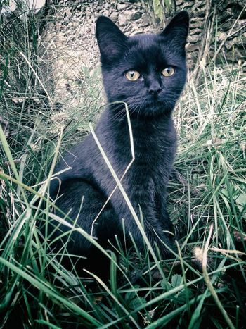 Animal Themes Black Color Close-up Day Domestic Animals Domestic Cat Feline Grass Looking At Camera Mammal No People One Animal Outdoors Pets Portrait Sitting