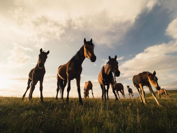 I spent half an hour waiting in the grass for these horses to become accustomed to my presence. I wanted to use a wide angle lens so knew that I would have to be close. Gradually they all walked over to me and I managed to snap this. DJI Mavic Pro Kyrgyzstan Olympus Orange Travel Animal Themes Close-up Cloud - Sky Day Domestic Animals Field Full Length Grass Horse Livestock Mammal Mavic Pro Nature No People Outdoors Sky Sunset Week On Eyeem Perspectives On Nature The Traveler - 2018 EyeEm Awards A New Beginning Capture Tomorrow