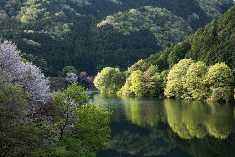 朝陽を浴びて飛び出してくる新緑 まだ桜も残っていました。2019/05/02撮影 室生湖にて Japan Photography Nara Murou Lake Japan Fresh Green Tree Water Forest Lake Lush - Description Sky Landscape Green Color Stay Out