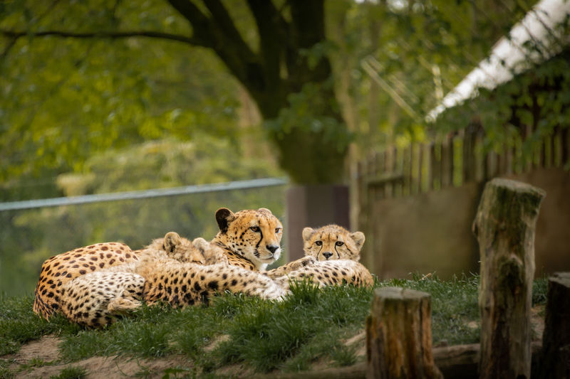 Cats relaxing in a zoo