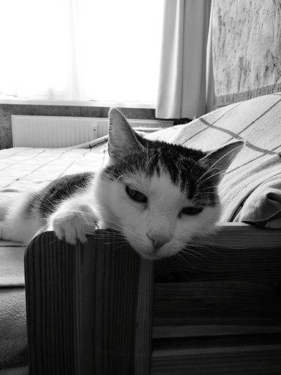 Pets Domestic Cat Domestic Animals One Animal Animal Themes Looking At Camera No People Window Lying Down Day Close-up Huawei P9 Photos EyeEmNewHere Mobilephotography Black & White Blackandwhite Cats 🐱 Cat♡ Pet Portraits