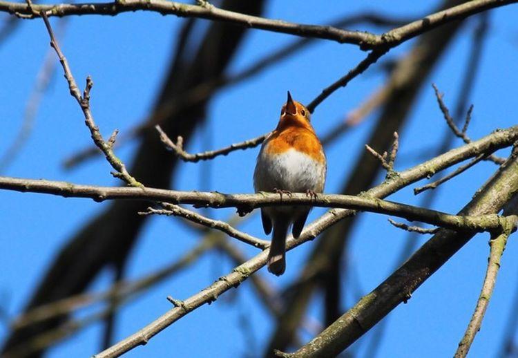 Robin One Animal Branch Animal Wildlife Animal Vertebrate Animal Themes Tree
