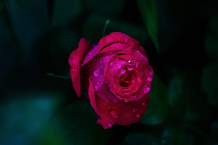 Close-up of wet rose in rainy season