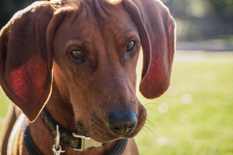 Animal Nose Brown Close-up Curiosity Dog Domestic Animals Focus On Foreground Looking At Camera Mammal No People One Animal Pets Red Redbone Coonhound Snout Zoology