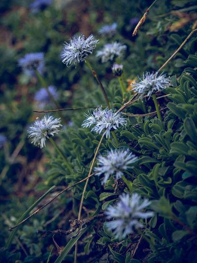 The nacked stemed ballflower (Globularia nudicaulis) belongs to the genus of spherical flowers (Globularia), which in turn belong to the family Plantain Family (Plantaginaceae). The plant grows between 5 and 25 cm high. As the name implies, the stem of the flower is naked, so it has no leaves. These grow only at the foot of the plant and grow to about 5 to 12 cm long. The blue-violet, globally spherical flowers are best seen in the period from May to July, the main flowering period of this plant. Because of its beautiful flower this alpine flower is also often found in rockeries Germany Hirschberg Tergernsee Hirschberg Flower Flower Head Blooming Ballflower Green Plant Growing Alps Mountain Herbs Globularia Nudicaulis Violet Blue Light Day Flowering Plant Growth Beauty In Nature Fragility Freshness Vulnerability  Close-up Nature Petal No People Inflorescence Selective Focus Field Land High Angle View Outdoors Purple Softness