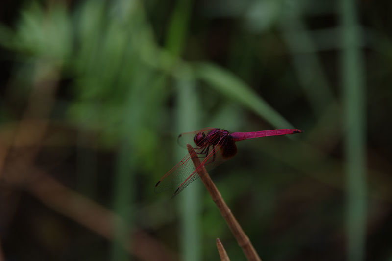 Close-up of dragonfly on red flower