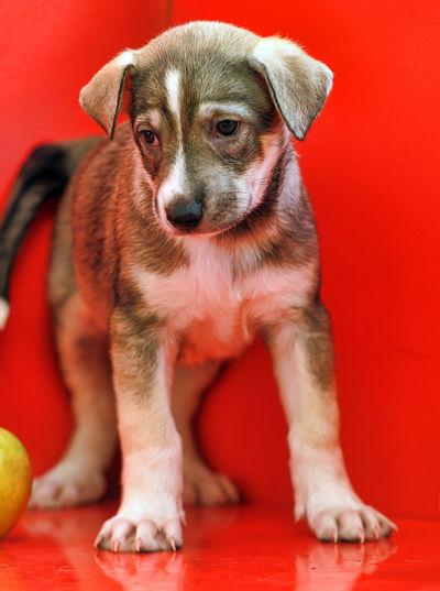 Portrait of puppy sitting on red blanket