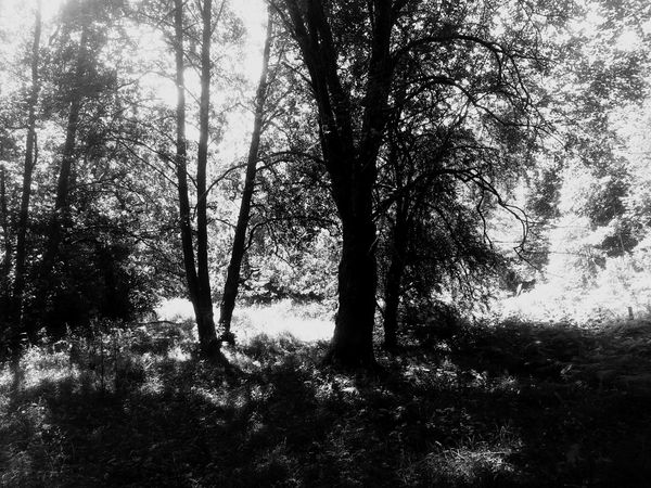 Eyeemphoto Trees Contrast Black And White Nature North Wales Forest WoodLand Shadows & Lights Silhouette Coed Cymru