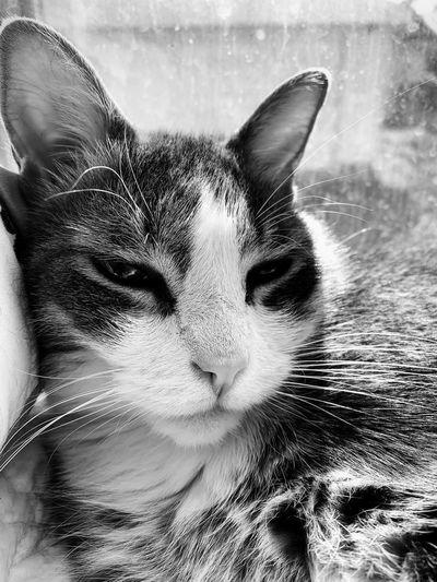 One Animal Mammal Pets Domestic Domestic Animals Vertebrate Portrait Close-up Cat Feline Animal Body Part Whisker Domestic Cat Indoors
