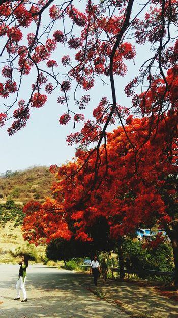 凤凰树系列8 Tree Autumn Full Length Leaf Change Red Forest Water Sky