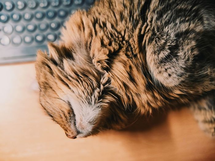 Sleeping Bubu Cute Animal Cat CDRE Cats Maine Coon EyeEm Nature Lover Keyboard Desk Tabby Fur Fluffy Sleeping Cat Desktop AdoptDontShop Pets Domestic Cat Close-up Whisker Tabby Cat Maine Coon Cat Animal Hair Feline My Best Photo