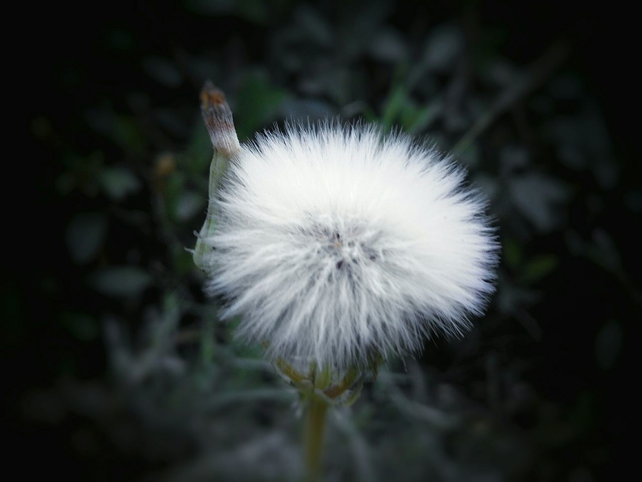 flower, white color, fragility, nature, dandelion, growth, plant, beauty in nature, flower head, softness, freshness, close-up, outdoors, no people, uncultivated, day