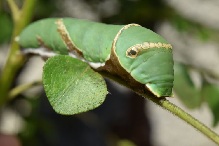 Caterpillar -