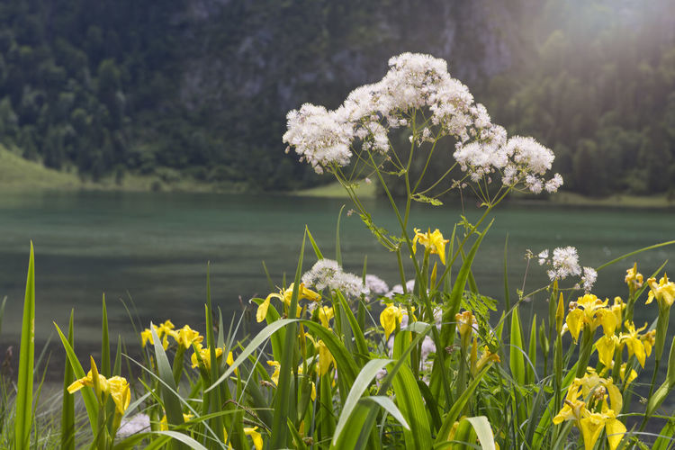 Plant Flowering Plant Flower Beauty In Nature Growth Vulnerability  Fragility Freshness Nature Day Focus On Foreground Water Close-up Inflorescence Tranquility Flower Head Petal Lake No People Outdoors Springtime Obersee Obersee - Königssee - Berchdesgaden Königssee, Bavaria, Mountain Lake, The Alps Königssee