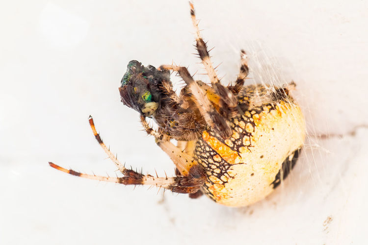 Close-up of spider hunting prey